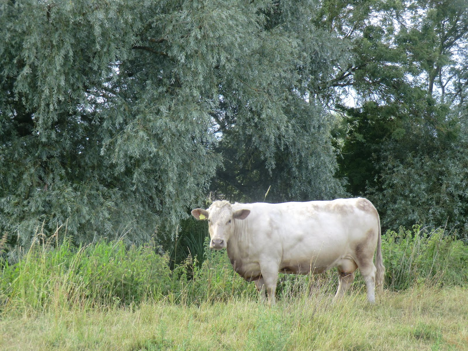CIMG8947 Placid cow in Godmanchester Nature Reserve