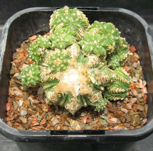 Hana's cacti rooting in 2005/2006 IMG_2027