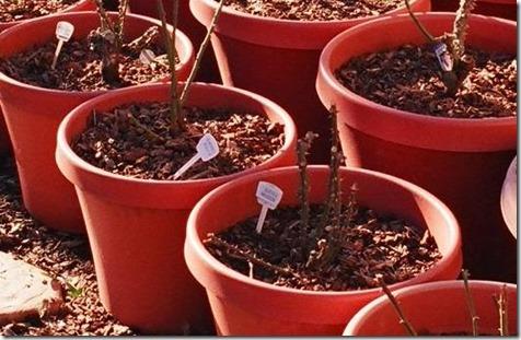 menanam-mawar-dengan-stek-batang