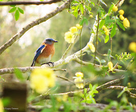 Photo: March 25, 2012 - First Bluebird of Spring #creative366project curated by +Jeff M and +Takahiro Yamamoto