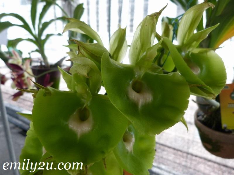 Pesta Orkid