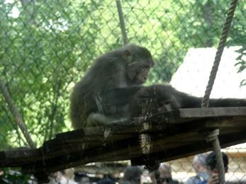 2017.08.26-014 macaque Rhésus