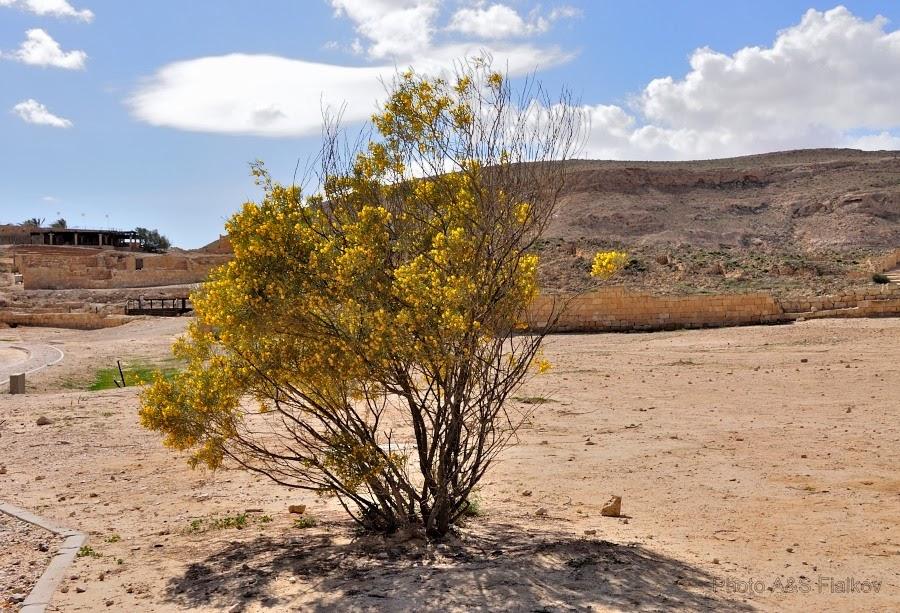 Фоторепортаж: гид Светлана Фиалкова, экскурсия в Негев, национальный парк Мамшит. У тропы к набатейскому городу цветет Ротем.