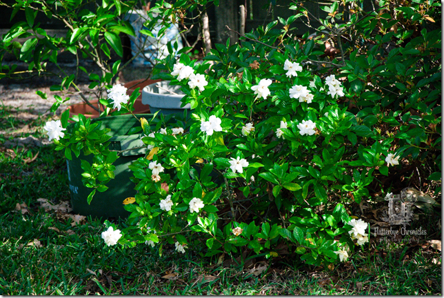 Gardenia's Blooming (WW) watermarked
