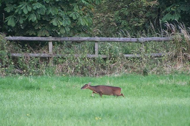 Woodhurst Wildlife Muntjac In The Grassfield - muntjac21.jpg