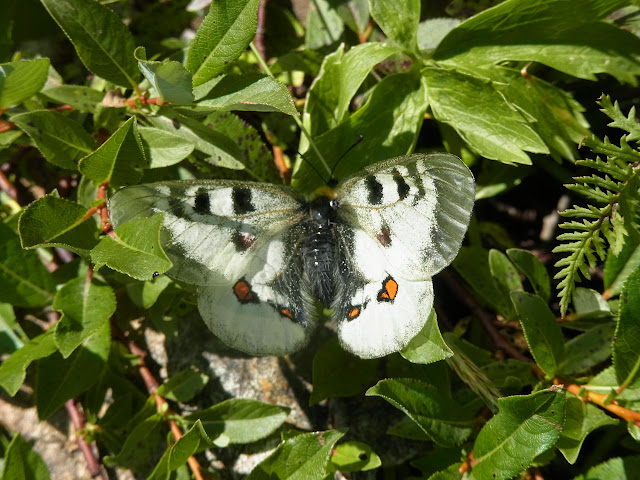 Parnassius (Driopa) nordmanni Ménétriès, 1849, femelle. Cheget (Terskol), 2750 m (Kabardino-Balkarie), 12 août 2014. Photo : J. Michel