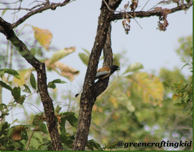 Indian rufous treepie