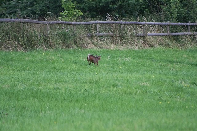 Woodhurst Wildlife Muntjac In The Grassfield - muntjac03.jpg