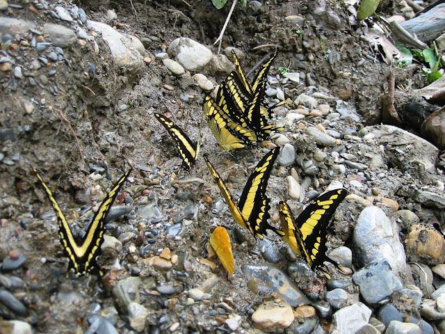 Papilio thoas cinyras MÉNÉTRIÉS, 1857. Rio Broncini (alt. : 600 m) au nord-ouest de Caranavi (Bolivie), 16 janvier 2004. Photo : Peter Møllmann
