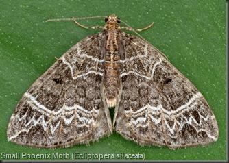 7213 Small Phoenix Moth (Ecliptopera silaceata)