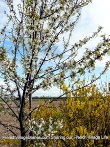 french village diaries silent sunday blossom dog walks france