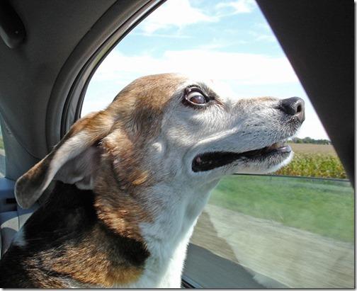 perros asomads a la ventanilla del coche (7)