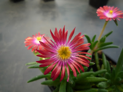 Delosperma Strongred