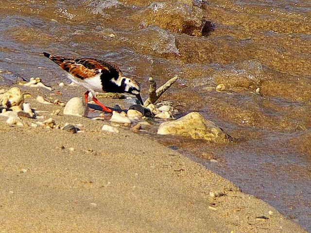 bird,diet,shellfish,Arenania interpres,Ruddy Turnstone,beach,shore