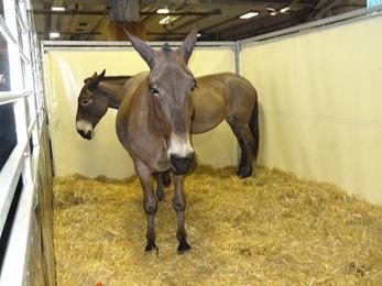 2018.02.25-072 Reinette mule poitevine
