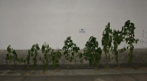 Detenção por cultivo de cannabis em Cinfães com a ajuda da GNR de Lamego
