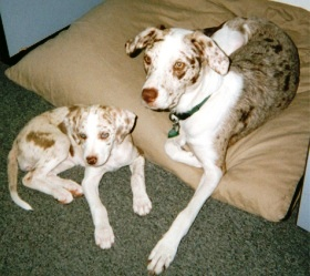 The Catahoula Leopard Dog An American Original Canidae 174