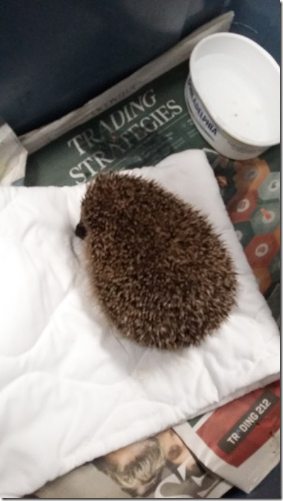 Hedgehog rescue. Photo: Les Roberts