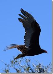 Turrkey Vulture-5