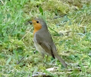 European Robin. Paris. Copyright  © Shelley Banks, all rights reserved.