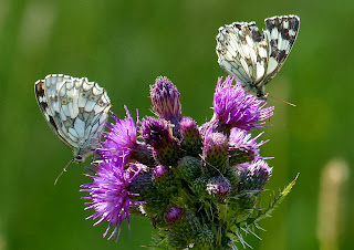 Marbled White butterflies, Wessex Downs