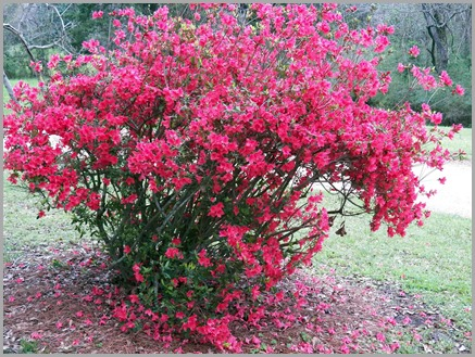 Azalea at Melrose Mansion
