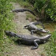 Приснилось много крокодилов