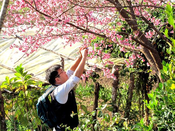 Ngắm hoa Anh Đào ở Mường Phăng