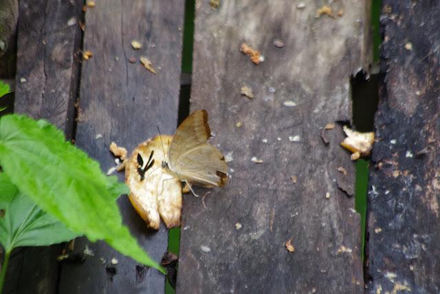 Archaeoprepona demophoon gulina (FRUHSTORFER, 1904). Bosque de Paz, El Limonal (Imbabura, Équateur), 8 décembre 2013. Photo : J.-M. Gayman