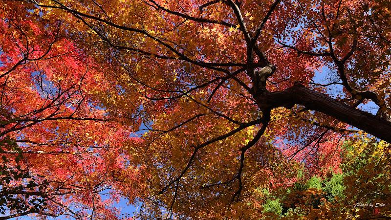 日本京都寶筐院秋楓