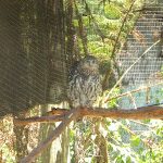 Owl in the Wildlife Exhibits at Carnley Ave Reserve (402112)
