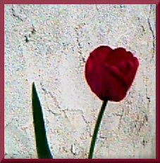 _red tulip