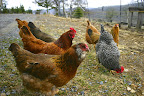 Free-ranging chickens April 4.