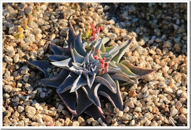 160924_SucculentExtravaganza_102_Dudleya-lanceolata
