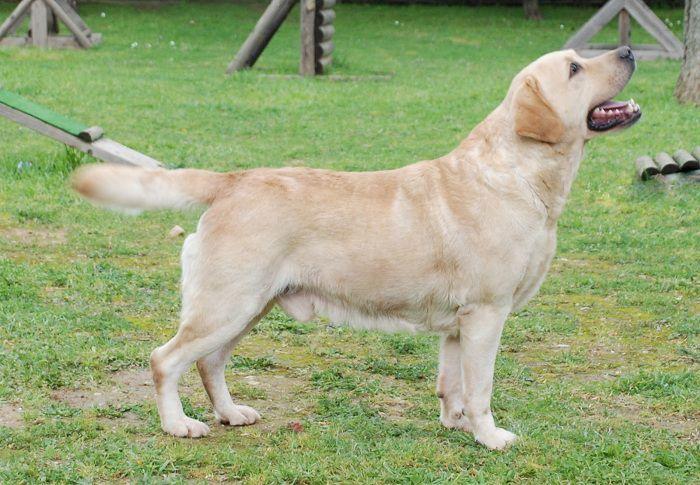 chó labrador - Những giống chó cảnh đẹp nhất | Loài chó đẹp nhất thế giới