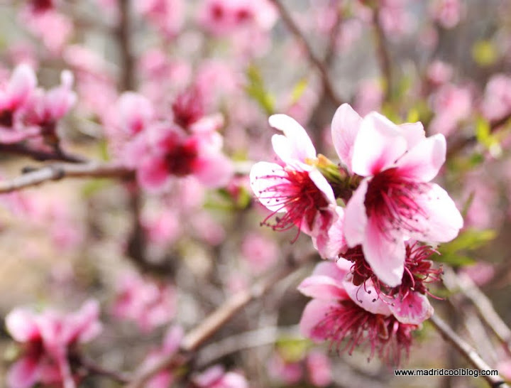 MADRID COOL BLOG escapada desde madrid valle del jerte floración cerezos hanami caceres cerezos en flor rutas de senderismo 2012 2013