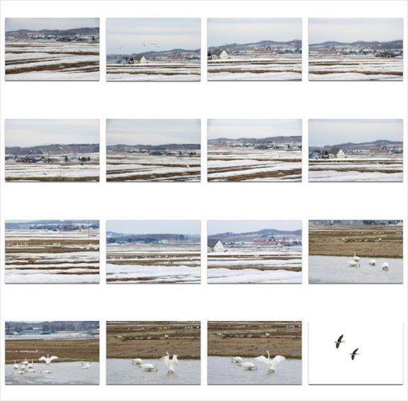 北竜町で羽を休める白鳥、雁たち