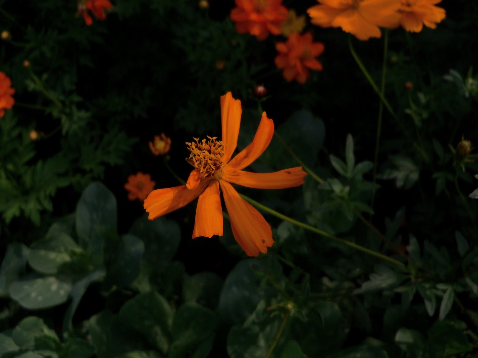 Gardening 2011 - 100_8698.JPG