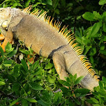 a massive iguana in Key Largo, Florida, United States