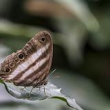 Pareuptychia ocirrhoe (Fabricius, 1776). Bosque Bavaria (Villavicencio, Meta, Colombie), 9 novembre 2015. Photo : B. Lalanne-Cassou