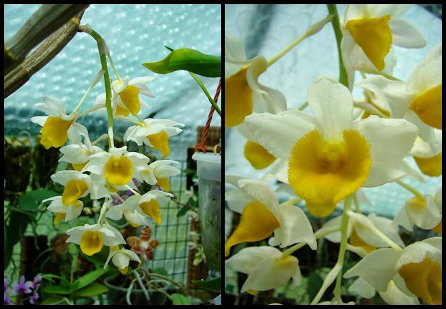Dendrobium thyrsiflorum 2014-04-231