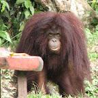 Orang Utang at Kinabalu Park