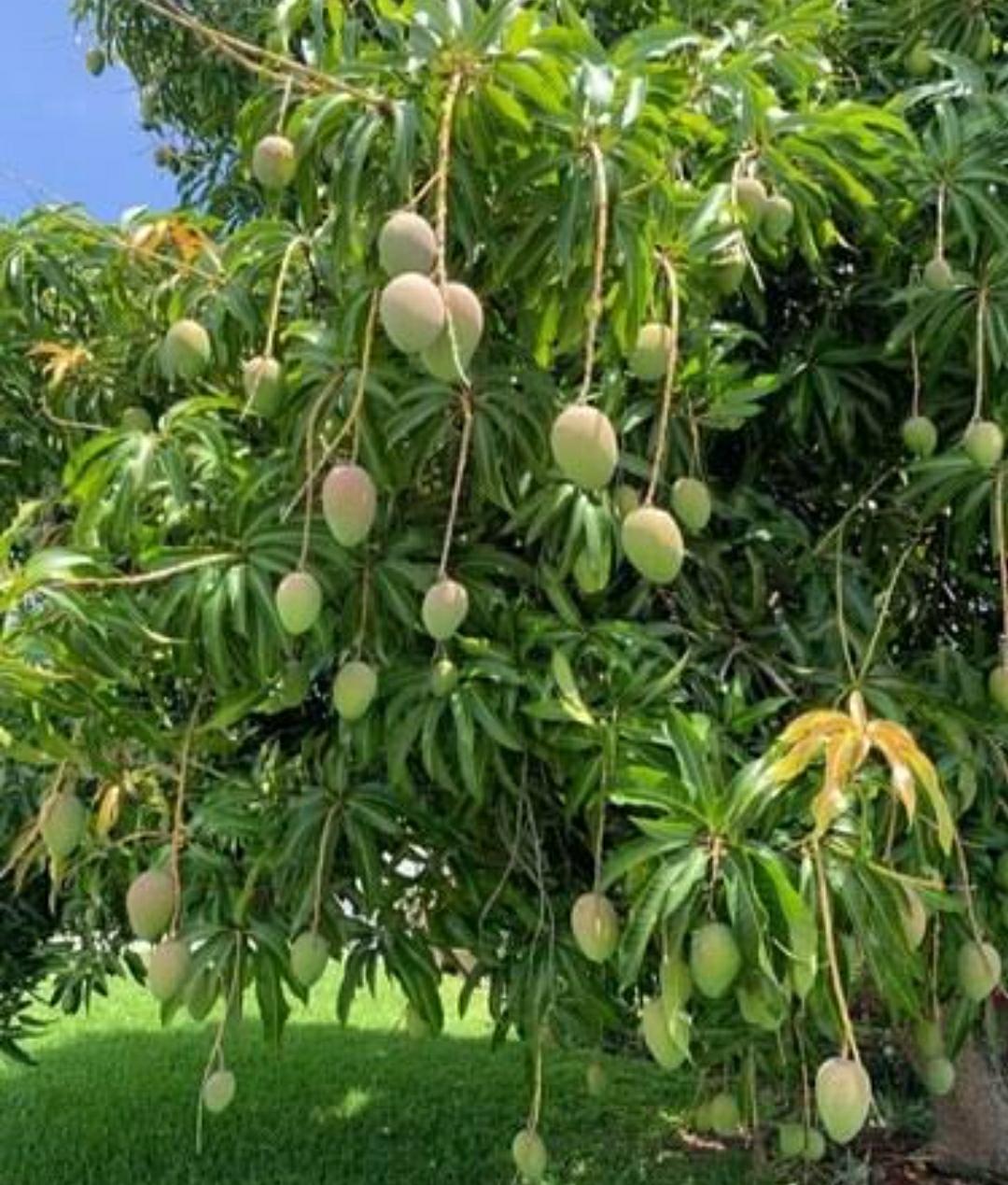 ಒಂದೇ ಮಾವಿನ ಮರದಲ್ಲಿ 121 ಬಗೆಯ ಹಣ್ಣುಗಳು ಏನಿದು ಅಚ್ಚರಿ..??