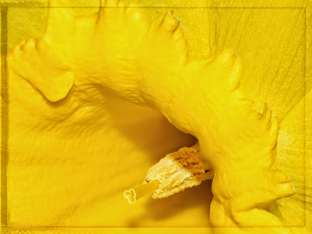 """""""Daffodil Photostack"""" by Ardythe Wendt - 2nd Place A Special"""