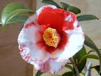 濃紅色地 大小の白斑入り 一重 筒咲き 筒しべ 中〜大輪
