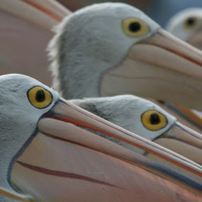 Pelican Eyes by William Greenfield - Animals Birds ( bird, nature, wildlife, pelican, birds, eyeball, eyes, eye )