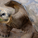Giant Galapagos tortoise 85 years old