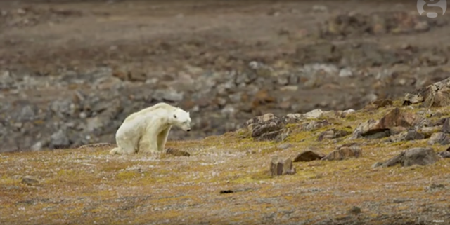 A starving polar bear in the Baffin Islands struggles to walk across an ice-free landscape, during the late summer of 2017. Photo: Paul Nicklen / Sea Legacy