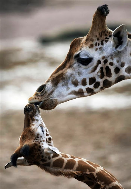 MOST BEAUTIFUL HEART TOUCHING ANIMALS WITH BABIES SHOWING BEAUTIFUL PICTURES OF GREATEST GIFT OF GOD MOTHERS LOVE