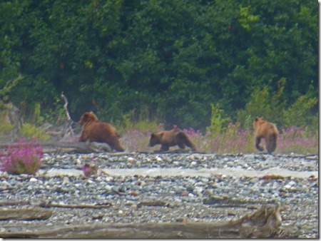 Mama Bear with Cubs at Haynes